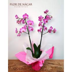 Planta de Orquídea Bohemia